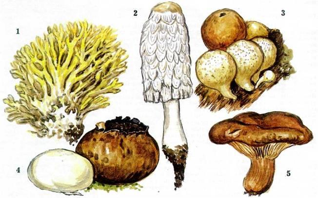 Съедобные грибы названия